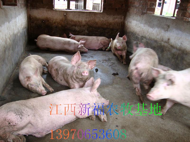动物吃东西的样子图片猪