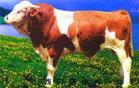 山东肉用牛的西门塔尔牛犊价格批发