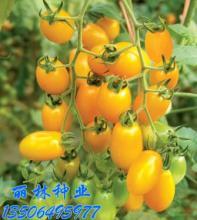 供应黄钰_水果樱桃番茄种子