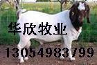 供应优质低价波尔山羊牛羊网批发