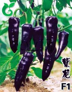 紫色辣椒种子图片/紫色辣椒种子样板图