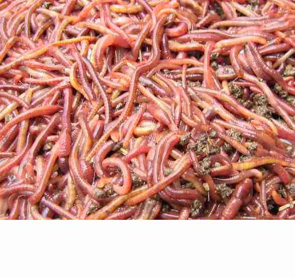 供应蚯蚓种苗蝇蛆种苗特种养殖技术批发