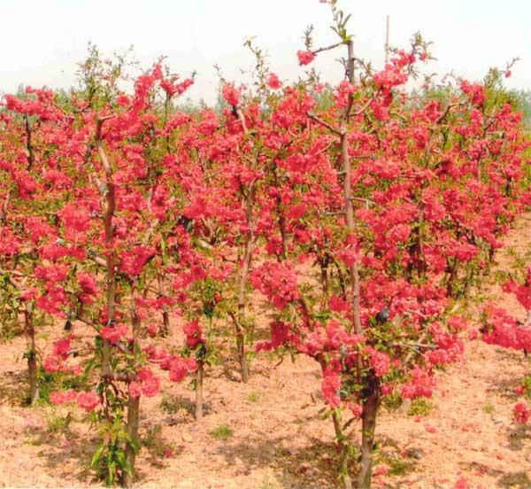 花椒树盆景图片