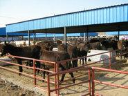 山东畜牧养殖河南良种牛羊驴繁育场图片