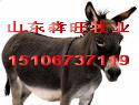 供应肉驴养殖的前景西门塔尔小牛价格批发