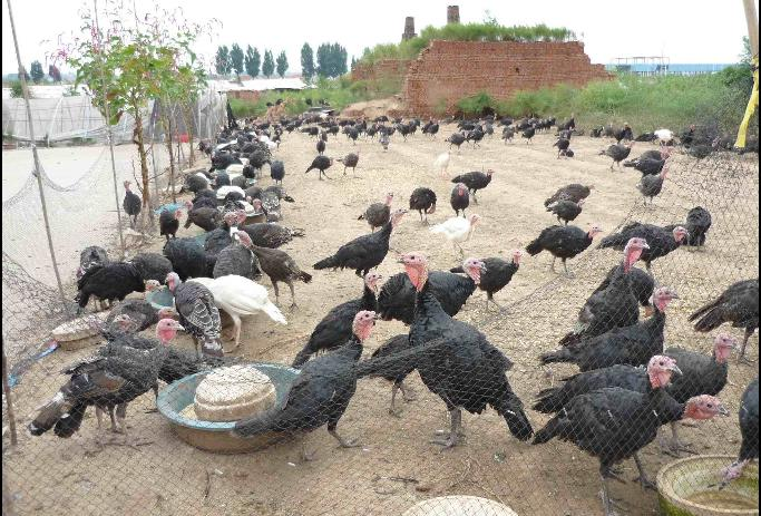 私人养殖场生产供应火鸡