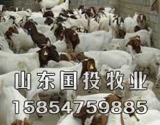 供应肉羊、育肥羊、白山羊、山东国投牧业批发