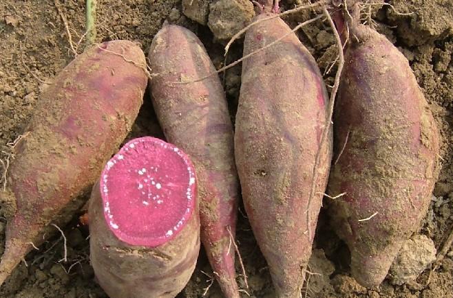 迷你紫薯图片_迷你紫薯图片大全