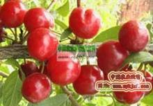 供应保健高钙水果种苗钙果水果