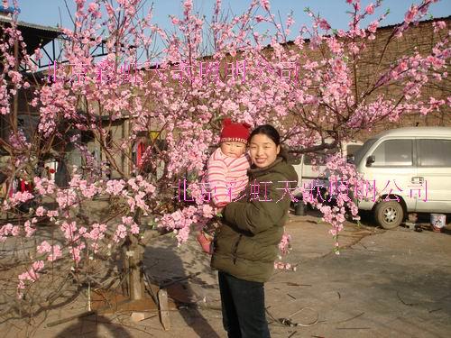 供应北京桃花树