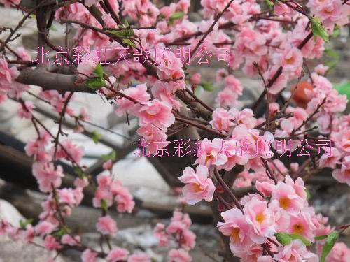 供应北京春节桃花树