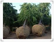 供应2010年银杏树