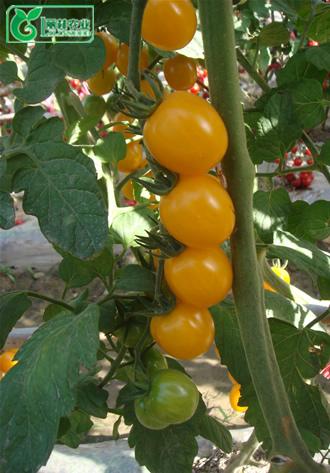 供应进口番茄种子-黄樱桃番茄种子-黄圣女果番茄种子-黄钰图片