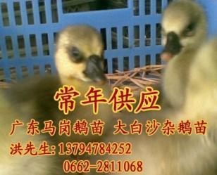 广东阳江马冈鹅苗 大白沙杂鹅苗图片