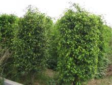 供应绿化草皮绿化苗木