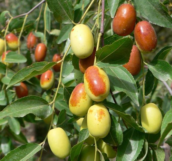 供应苹果树杏树枣树柿子树