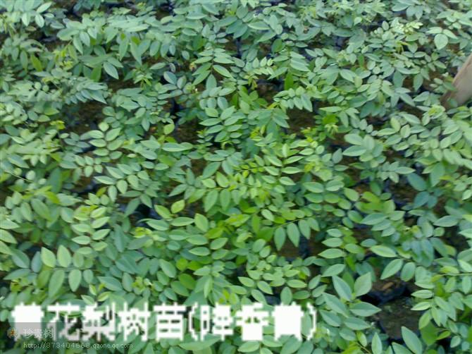 旺春集新珍贵树种植基地