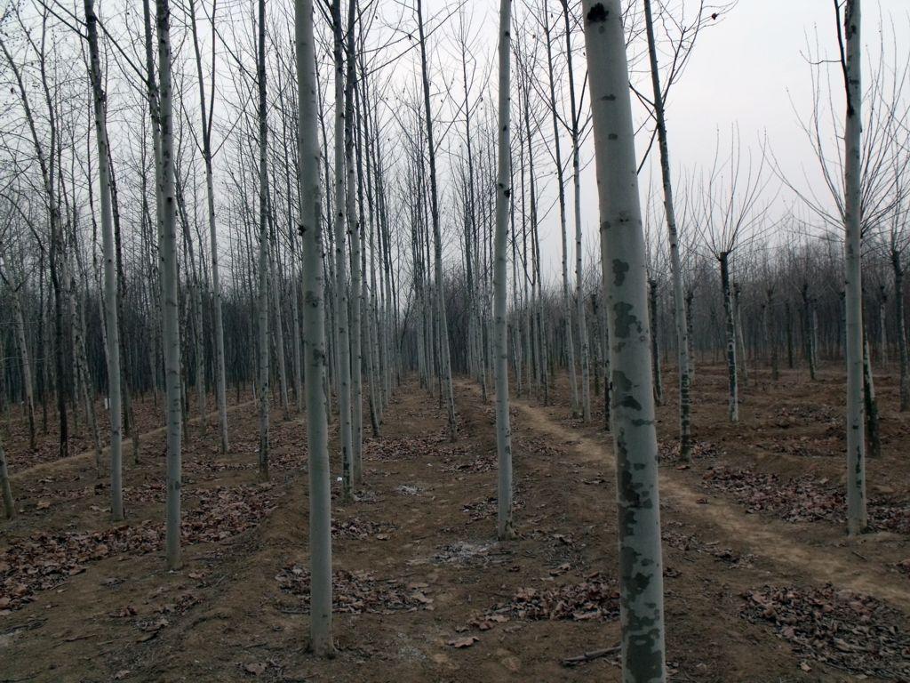 供应园林绿化苗木法桐树图片