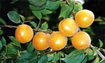 供应杏树苗