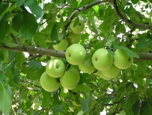 小苹果(打油诗) - 小溪澎湃 - 小溪澎湃的博客