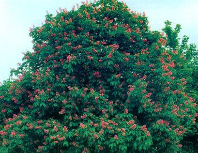七叶树提取物图片