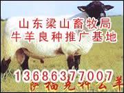 牛羊供求肉牛育肥效益分析波尔图片