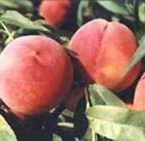 供应桃树苗