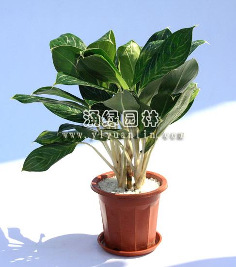 栽植藤蔓植物图片
