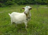 小尾寒羊波尔山羊杜泊绵羊绒毛羊图片