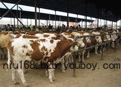 广东黄牛养殖