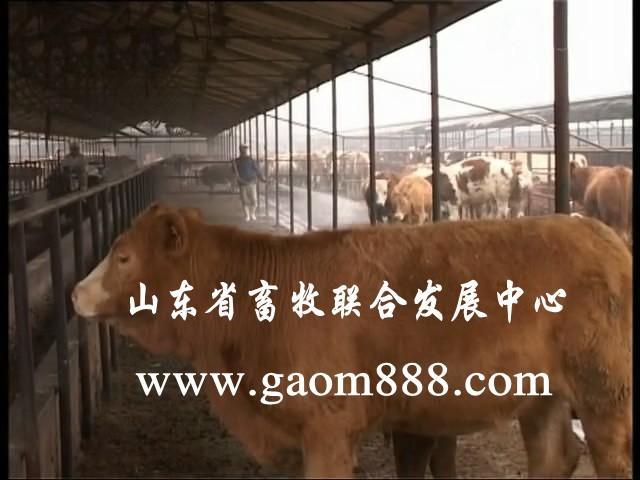 养殖基地/肉牛肉牛价格肉牛养殖 肉牛品种肉牛养殖基地图片