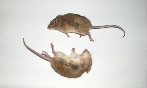供应合肥灭鼠