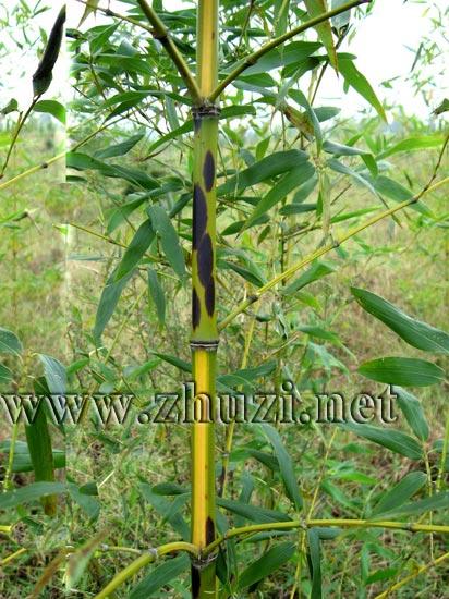 黄槽斑竹图片