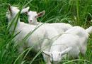 波尔山羊杂交羊肉羊图片