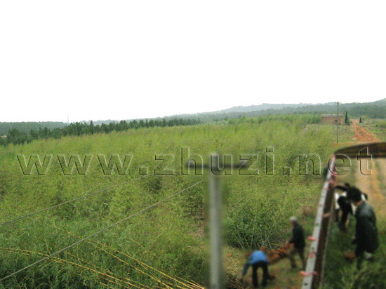 供应竹子、竹苗、观赏竹、竹类植物批发