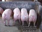 供应哪里仔猪基地选购健康三元仔猪保证成活率批发